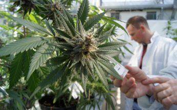 Cannabis Terapeutica in stabilimento