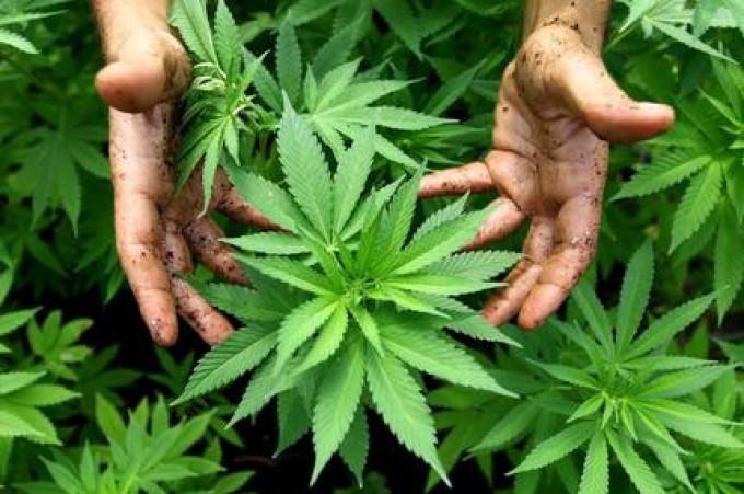 cannabis_7